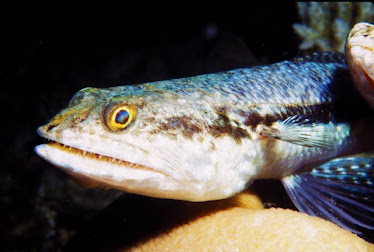 Reef Lizardfish, headshot