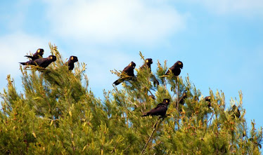 Yellow-tailed Black Cockatoos, #10