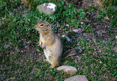 Arctic Ground Squirrel, #3