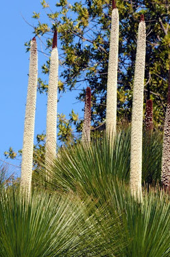 Grass Tree flowers - Xanthorrhoea glauca #47