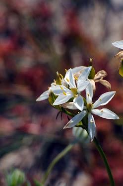 Australian Wildflower #13
