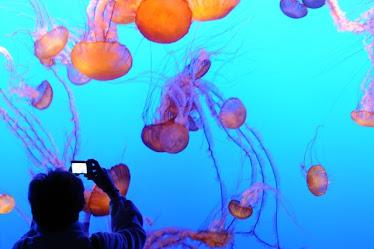 Monterey Bay Aquarium, jellyfish display