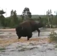 bufalo ataca a mujer