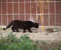 rata vs gato
