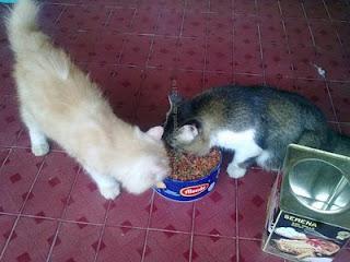 kucing maruk, kucing gembul