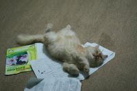 kucing silat, kucing karate, ninja cat