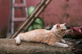kucing betina, induk kucing