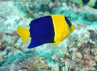 tezhar: Arimbi Fish ( Ikan Hias Laut )