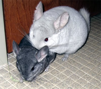chinchilla black personals Search titles only has image posted today bundle duplicates include nearby areas asheville, nc (ash) athens, ga (ahn) athens, oh (ohu).