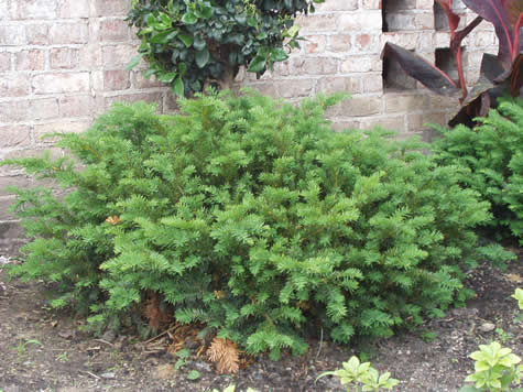 how to grow japanese yew