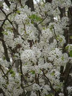 Bradford pear trees blossoming white clusters of flowers throughout the city