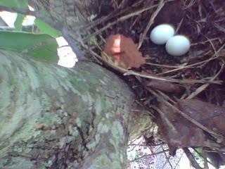 two eggs in the tree