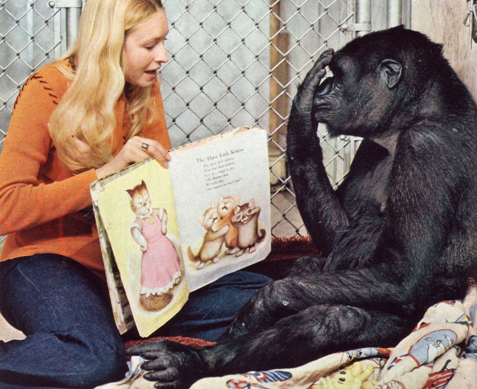 koko the gorilla The latest tweets from gorilla foundation (@kokotweets) the gorilla  foundation is a non-profit that cares for koko the gorilla, a western lowland  gorilla who.