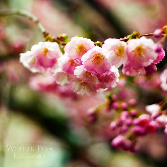 Bunga Idaman Mutiara Syurga (Kembali)