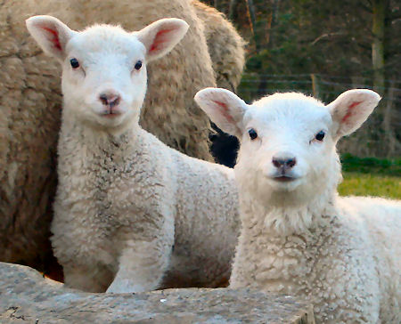 sheep up to a year old are