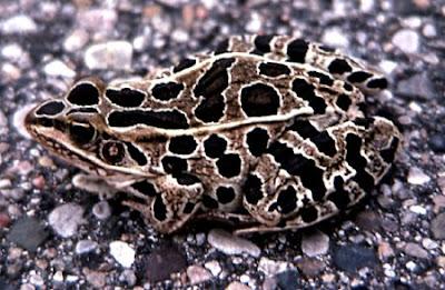 [Image: a96745_leopardfrog.jpg]