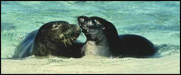 Coppia di foche