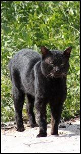 gatto Abu