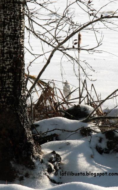 airone garzetta nella neve