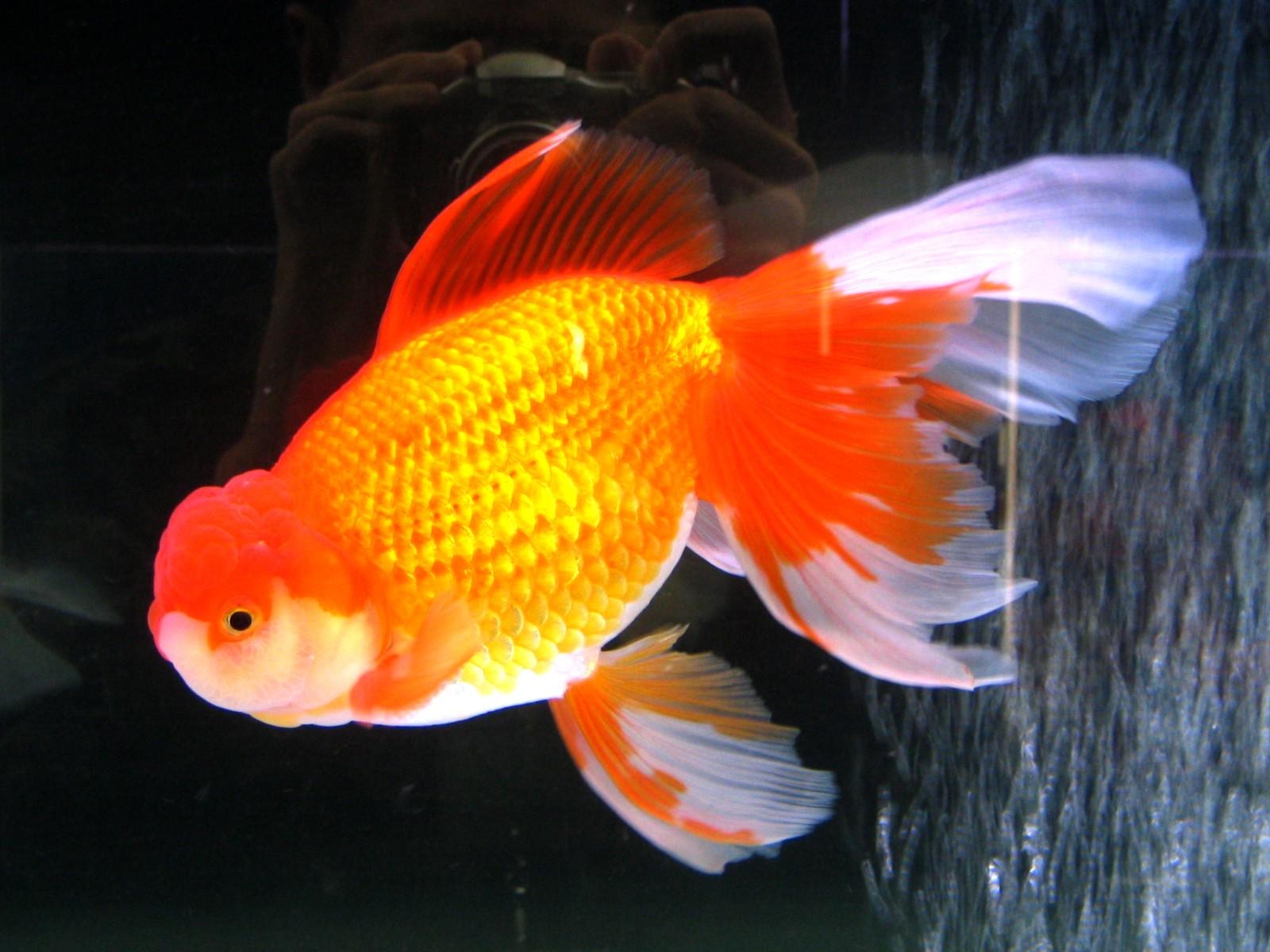 ผลการค้นหารูปภาพสำหรับ ปลาทอง