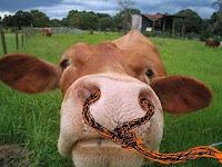 cow-face.jpg (200×150)