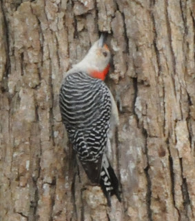 Red-bellied Woodpecker inspecting under bark at Audubon's Francis Beidler Forest by Mark Musselman