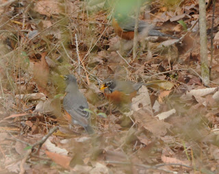 American Robin eating Partridge Berries at Audubon's Francis Beidler Forest by Mark Musselman