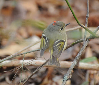 Ruby-crowned Kinglet at Audubon's Francis Beidler Forest by Mark Musselman