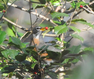 American Robin eating American Holly berries at Audubon's Francis Beidler Forest by Mark Musselman