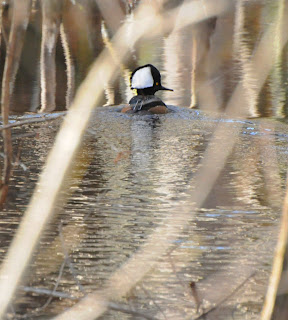 Male Hooded Merganser at Audubon's Francis Beidler Forest by Mark Musselman