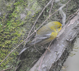 Pine Warbler at Audubon's Francis Beidler Forest by Mark Musselman