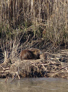 Nutria at Audubon's Rainey Sanctuary by Mark Musselman