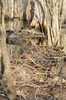 Beaver dam at Audubon's Francis Beidler Forest by Mark Musselman