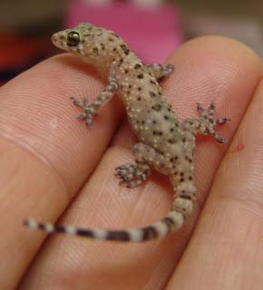 Audubon South Carolina Geckos And Treefrogs