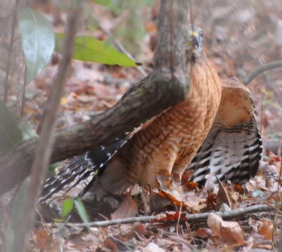 Audubon South Carolina Hunting Hawk