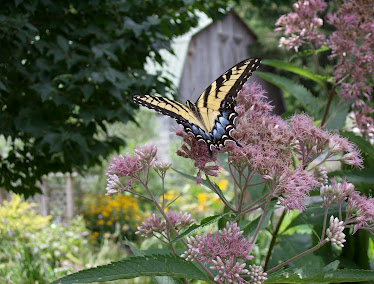 Joe Pye weed in the garden