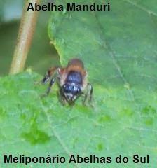 Abelha Manduri