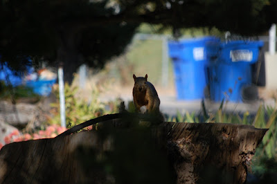 Squirrel looking at Tiger from atop the neighbor's stump