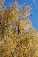 Willow leaves are the last to fall.