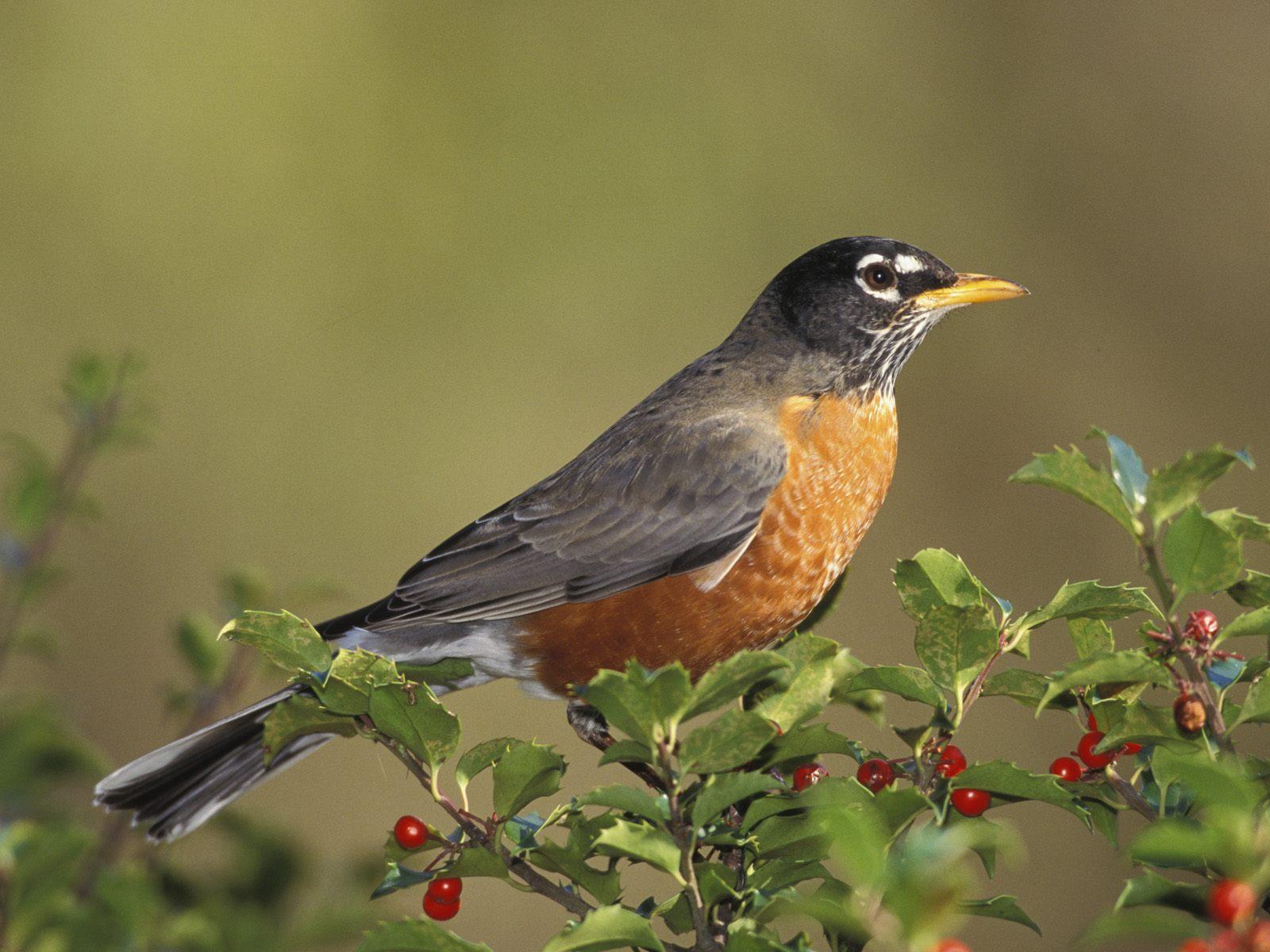 http://2.bp.blogspot.com/_11vnlMa_BXI/Swuf6cDvjrI/AAAAAAAAA5U/nXiWgTCb9ww/s1600/American+Robin.jpg