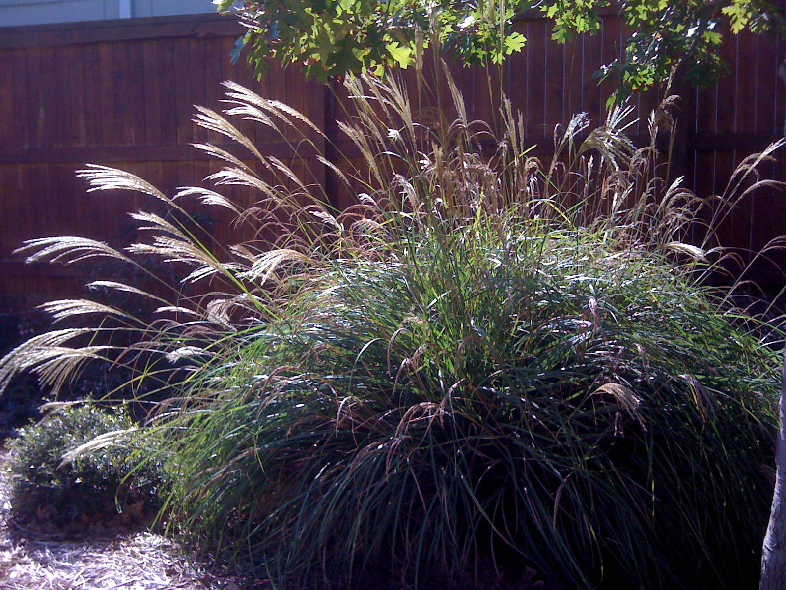 ornamental grasses for shade