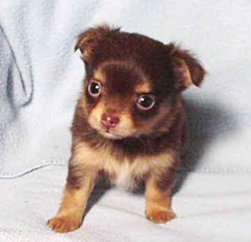 pomeranian long haired chihuahua mix. long haired chihuahua mix.