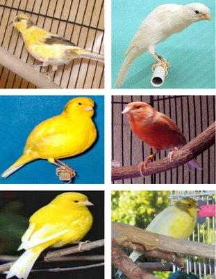 JENIS KENARI UNGGULANJenis Burung Kenari
