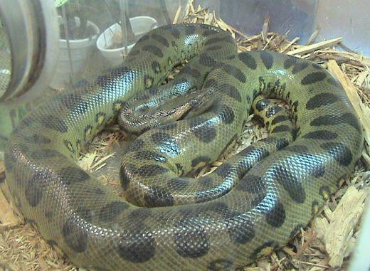 Ular terpanjang di dunia bukan anaconda, tapi python asia reticulates