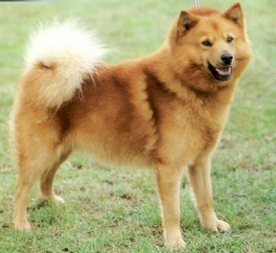 Finnish Spitz Top Breeds | Dog Breeds Index