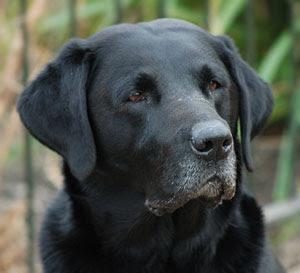 Labrador Retriever Colors | Dog Breeds Index