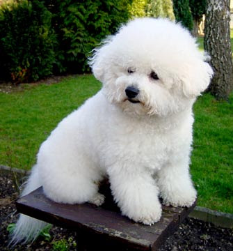 Small Puppies on Bichon Frise Best Small Dogs   Dog Breeds Index