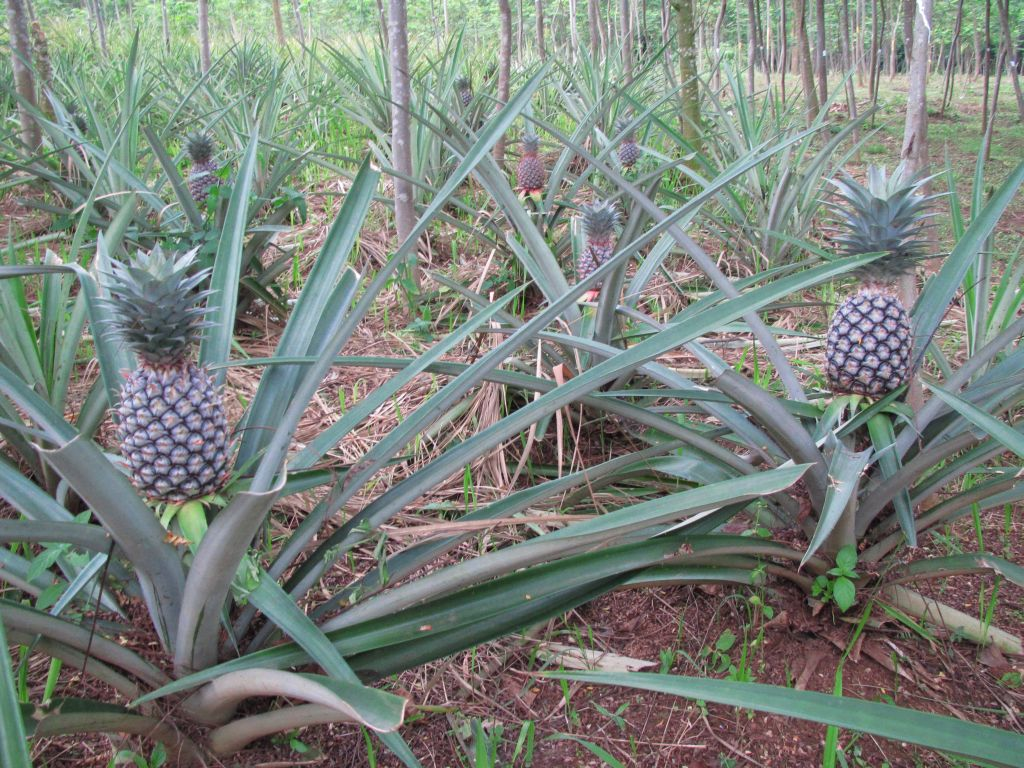 Marek Bialoglowy 39 S Blog Do Pineapples Grow On Trees