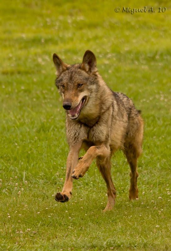 Manada: Guardianes del bosque - Página 6 Lobo-Vert-800px-+-name