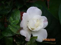 weiße Rose/beyaz gül